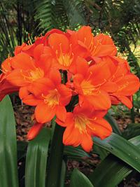 Clivia Masterclass Orange