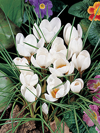 Crocus Purity