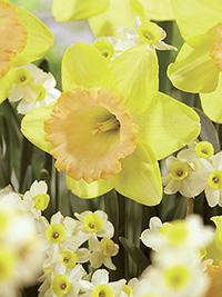 Daffodil Alexis Beauty