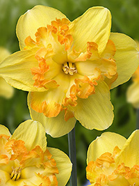 Daffodil Blazing Starlet - Sold out