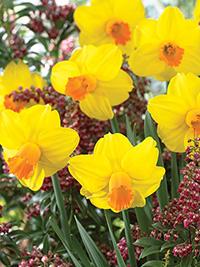 Daffodil Corbiere