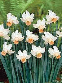 Daffodil Cotinga