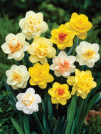 Double Daffodil Mixture - sorry, sold out