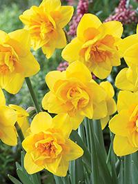 Daffodil Early Orbit