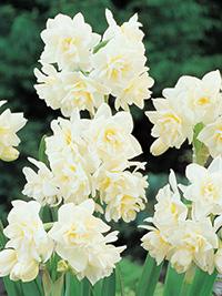 Daffodil Erlicheer - Super Deal