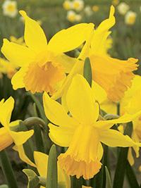 Daffodil February Gold