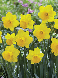 Daffodil Fortitude