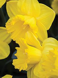 Daffodil Gold Medal