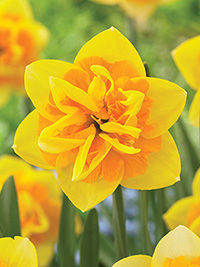 Daffodil Jersey Star