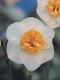 Daffodil Joop