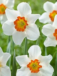 Daffodil June Allyson