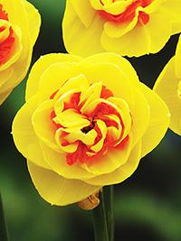Daffodil Kiwi Sunset