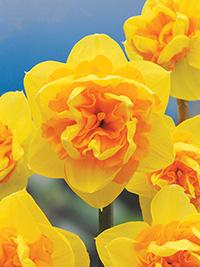 Daffodil Lunar Probe