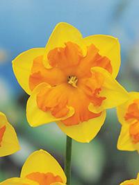 Daffodil Menehay