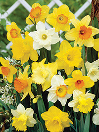 Daffodil Mixed - Sorry, Sold Out