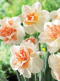 Daffodil My Story
