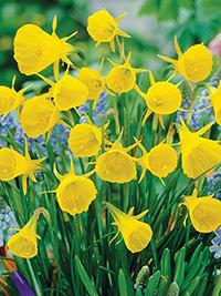 Daffodil Oxford Gold