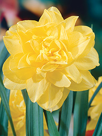 Daffodil Pale Beauty