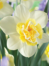 Daffodil Popeye