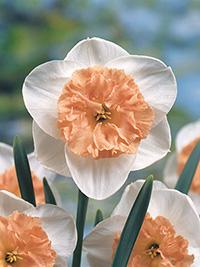 Daffodil Precocious