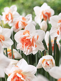 Daffodil Replete - Super Deal
