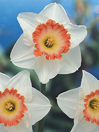 Daffodil Rosy Wonder - sorry, sold out