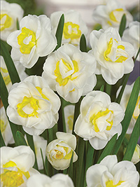 Daffodil Salou - Sorry, Sold Out