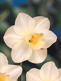 Daffodil Snowdean