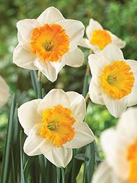 Daffodil Sound