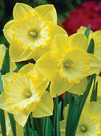 Daffodil St Patricks Day