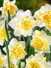Daffodil Sweet Desire