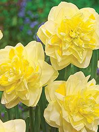 Daffodil Sweet Pomponette