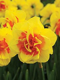 Daffodil Tamar Fire