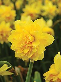 Daffodil Tete De Luxe