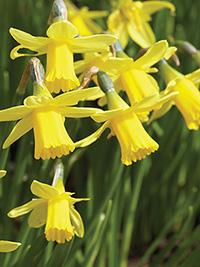 Daffodil Tete a Tete