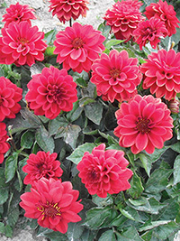 Dahlia Alfonso - PACK OF 3