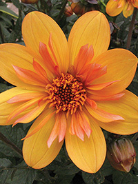 Dahlia Butterscotch