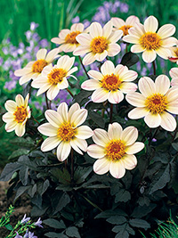 Dahlia Happy Cream