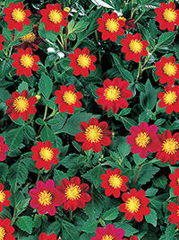 Dahlia Maggie - PACK OF 3