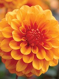 Dahlia Orange Symphony