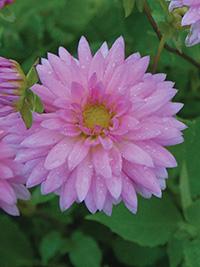 Dahlia Pink Minisun