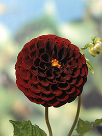 Dahlia Pot Black