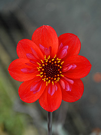 Dahlia Thumbprint
