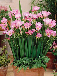 Pot Freesia Bari