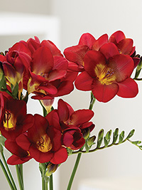Freesia Bordeaux