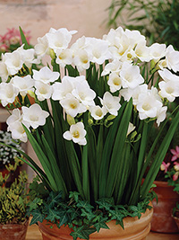 Pot Freesia Florence