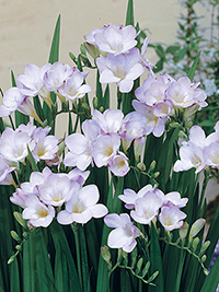 Pot Freesia Lovely Lake - Sorry, not available