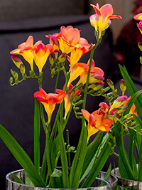 Pot Freesia Lovely Romance