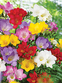Freesia Mixture