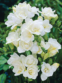 Freesia Starlight